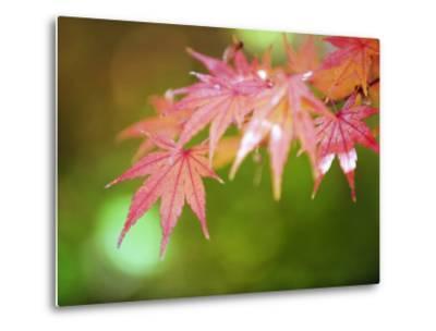 Autumn Maple Leaves, Sagano Area, Kyoto, Japan, Asia-Christian Kober-Metal Print