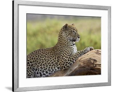 Leopard (Panthera Pardus), Samburu National Reserve, Kenya, East Africa, Africa-James Hager-Framed Photographic Print