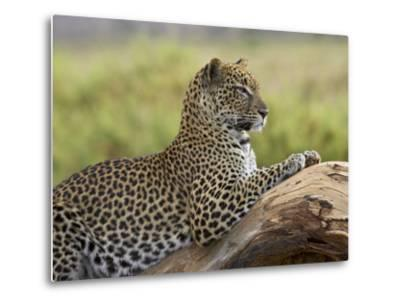Leopard (Panthera Pardus), Samburu National Reserve, Kenya, East Africa, Africa-James Hager-Metal Print