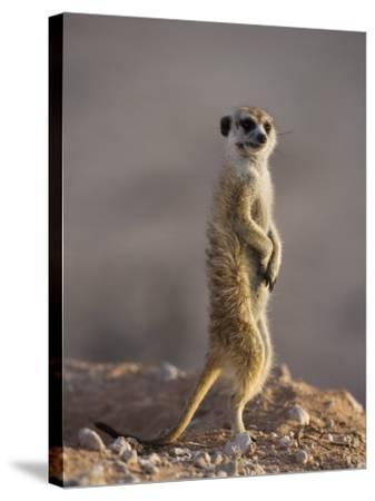 Meerkat Sentinel (Suricatta Suricata), Kgalagadi Transfrontier Park, Northern Cape, South Africa-Ann & Steve Toon-Stretched Canvas Print