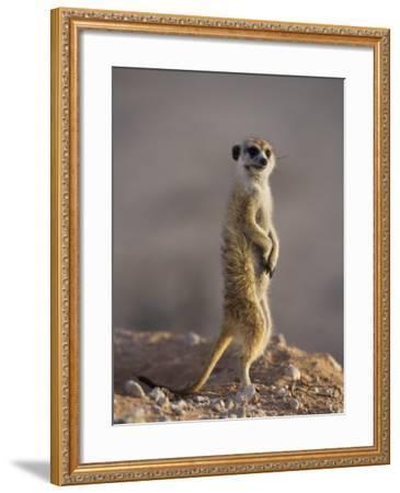Meerkat Sentinel (Suricatta Suricata), Kgalagadi Transfrontier Park, Northern Cape, South Africa-Ann & Steve Toon-Framed Photographic Print