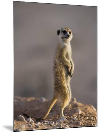 Meerkat Sentinel (Suricatta Suricata), Kgalagadi Transfrontier Park, Northern Cape, South Africa-Ann & Steve Toon-Mounted Photographic Print