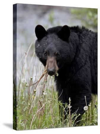 Black Bear (Ursus Americanus), Banff National Park, Alberta, Canada, North America-James Hager-Stretched Canvas Print