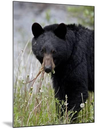 Black Bear (Ursus Americanus), Banff National Park, Alberta, Canada, North America-James Hager-Mounted Photographic Print