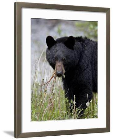Black Bear (Ursus Americanus), Banff National Park, Alberta, Canada, North America-James Hager-Framed Photographic Print