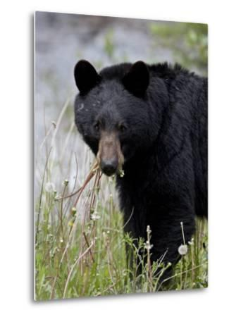 Black Bear (Ursus Americanus), Banff National Park, Alberta, Canada, North America-James Hager-Metal Print
