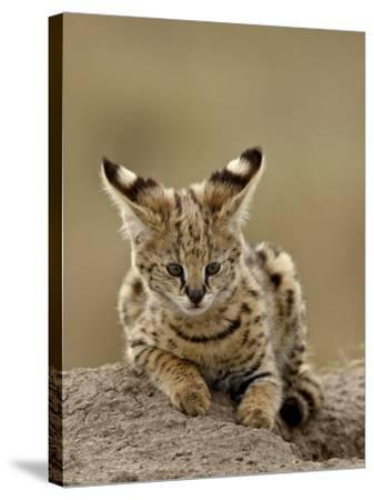Serval (Felis Serval) Cub on Termite Mound, Masai Mara National Reserve, Kenya, East Africa-James Hager-Stretched Canvas Print