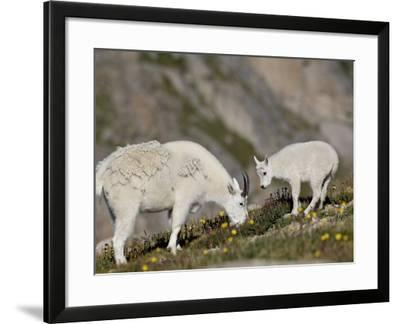 Mountain Goat (Oreamnos Americanus) Nanny and Billy, Mount Evans, Colorado, Usa-James Hager-Framed Photographic Print