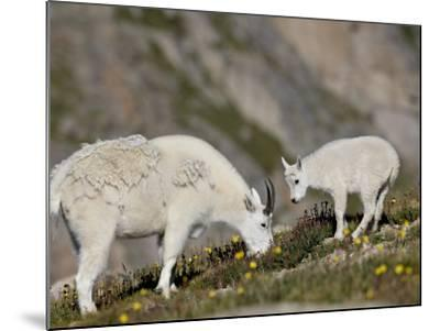 Mountain Goat (Oreamnos Americanus) Nanny and Billy, Mount Evans, Colorado, Usa-James Hager-Mounted Photographic Print