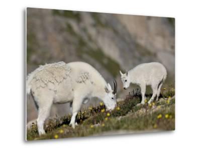 Mountain Goat (Oreamnos Americanus) Nanny and Billy, Mount Evans, Colorado, Usa-James Hager-Metal Print