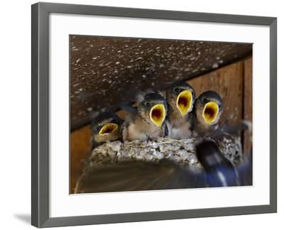 Four Barn Swallow (Hirundo Rustica), Custer State Park, South Dakota, Usa-James Hager-Framed Photographic Print