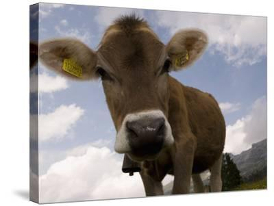 Cow Grazing, Dolomites, South Tyrol, Italy, Europe-Carlo Morucchio-Stretched Canvas Print