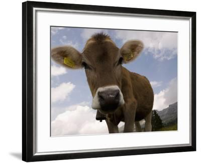 Cow Grazing, Dolomites, South Tyrol, Italy, Europe-Carlo Morucchio-Framed Photographic Print