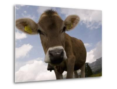 Cow Grazing, Dolomites, South Tyrol, Italy, Europe-Carlo Morucchio-Metal Print
