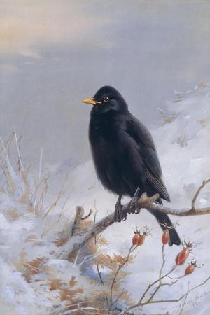 In Winter's Grasp - Blackbird, 1921-Archibald Thorburn-Stretched Canvas Print