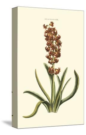 Antique Hyacinth VII-Christoph Jacob Trew-Stretched Canvas Print