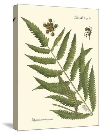 Small Antique Fern II--Stretched Canvas Print