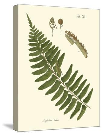 Small Antique Fern V-Vision Studio-Stretched Canvas Print