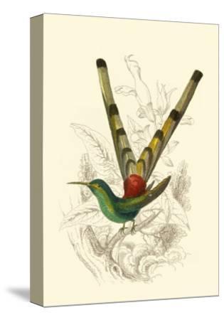 Jardine Hummingbird II-Sir William Jardine-Stretched Canvas Print