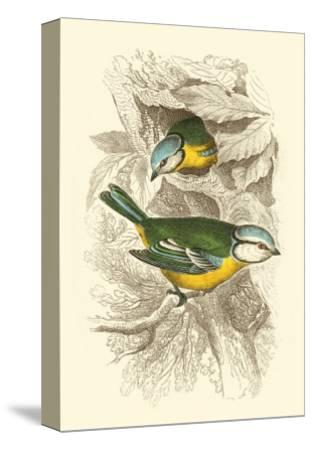 Blue Titmouse-Sir William Jardine-Stretched Canvas Print