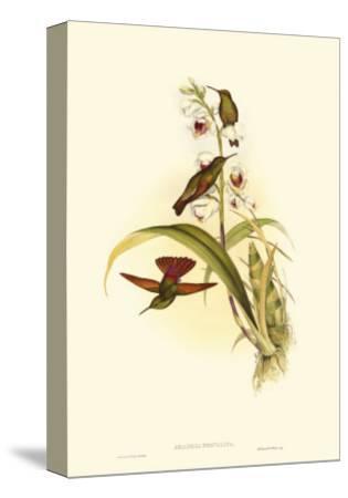 Small Gould Hummingbird II-John Gould-Stretched Canvas Print