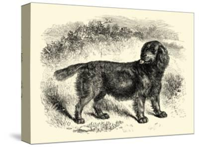 Sussex Spaniel--Stretched Canvas Print