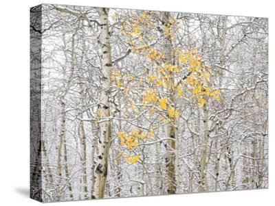 Fall Birch-Andrew Geiger-Stretched Canvas Print