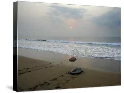 Olive Ridley Turtles Return to the Bay of Bengal Sea after Laying Eggs on Gokhurkuda Beach, India--Stretched Canvas Print