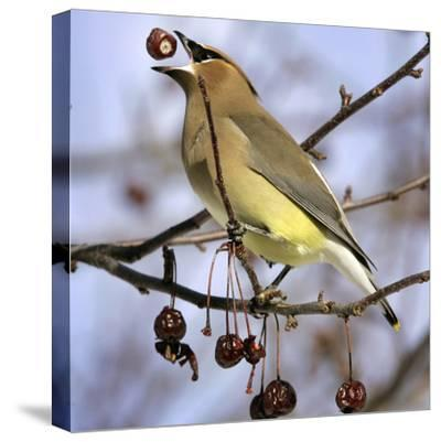 Cedar Waxwing Tosses Up a Fruit from a Flowering Crab Tree at the Town Hall--Stretched Canvas Print