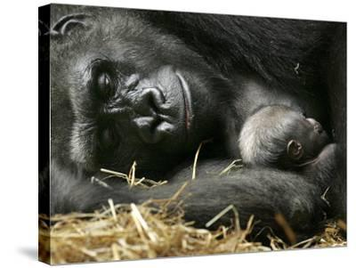 Western Lowland Gorilla, Cradles Her 3-Day Old Baby at the Franklin Park Zoo in Boston--Stretched Canvas Print