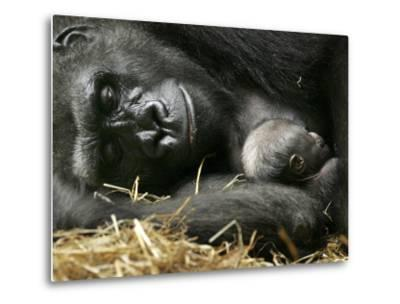 Western Lowland Gorilla, Cradles Her 3-Day Old Baby at the Franklin Park Zoo in Boston--Metal Print