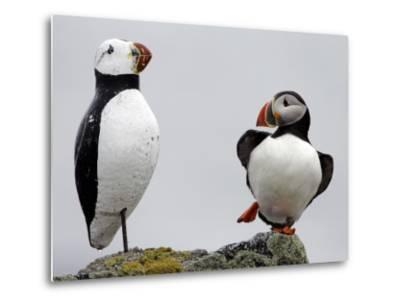 Atlantic Puffin Appears to Imitate a Decoy by Standing on One Leg, on Eastern Egg Rock, Maine--Metal Print