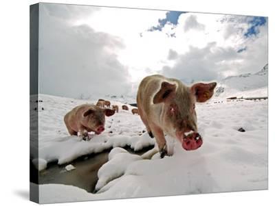 Pigs Make their Way Through a Snowy Landscape Near the Alpine Village of Schruns in Austria--Stretched Canvas Print