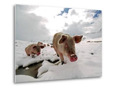 Pigs Make their Way Through a Snowy Landscape Near the Alpine Village of Schruns in Austria--Metal Print