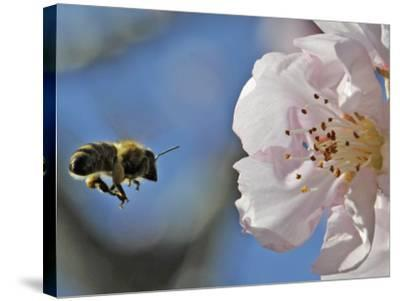 Bee Flies Towards the Blossom of an Almond Tree in a Park in Freiburg, Southern Germany--Stretched Canvas Print