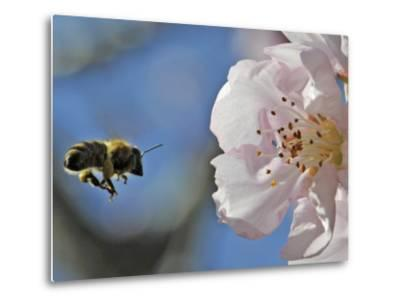 Bee Flies Towards the Blossom of an Almond Tree in a Park in Freiburg, Southern Germany--Metal Print