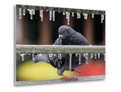Pigeon Slides Along the Ice in Downtown San Antonio,--Metal Print