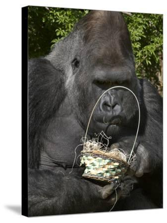 Male Lowland Gorilla with an Easter Basket Given to Him by His Keepers at the Cincinnati Zoo--Stretched Canvas Print