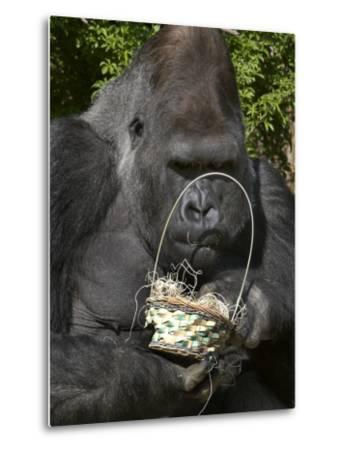 Male Lowland Gorilla with an Easter Basket Given to Him by His Keepers at the Cincinnati Zoo--Metal Print