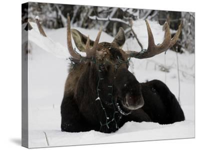 Bull Moose with Christmas Lights Tangled in its Antlers Rests in a Field in Anchorage, Alaska--Stretched Canvas Print