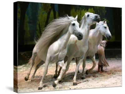Horse Trainer Signals Three Lusitano Stallions to Tightly Circle Him During Cavalia Dress Rehearsal--Stretched Canvas Print