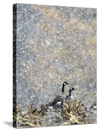 Canada Geese Weather an Autumn Snow Storm in a Corn Field in New Salem, New York--Stretched Canvas Print