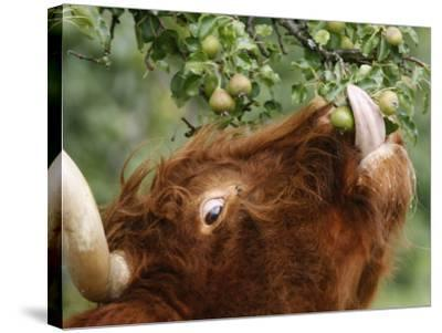 One of a Herd of Scottish Highland Cattle Picks Pears from a Tree in Gockhausen, Switzerland--Stretched Canvas Print