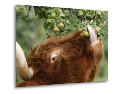 One of a Herd of Scottish Highland Cattle Picks Pears from a Tree in Gockhausen, Switzerland--Metal Print