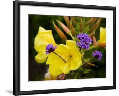Verbena Bonariensis and Evening Primrose, Ireland--Framed Photographic Print