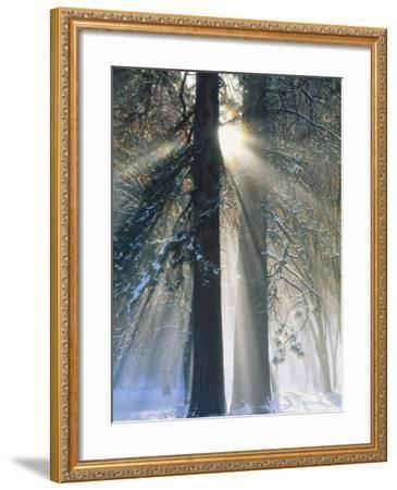 Sun Rays Streaming Through Snow Covered Trees, Yosemite National Park, California, USA-Christopher Bettencourt-Framed Photographic Print