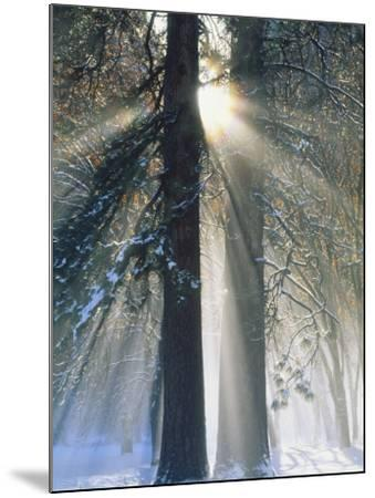Sun Rays Streaming Through Snow Covered Trees, Yosemite National Park, California, USA-Christopher Bettencourt-Mounted Photographic Print