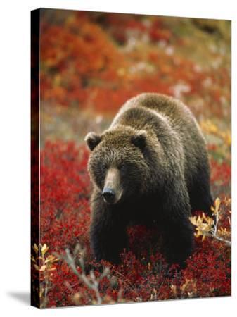 Grizzly Bear Standing Amongst Alpine Blueberries, Denali National Park, Alaska, USA-Hugh Rose-Stretched Canvas Print