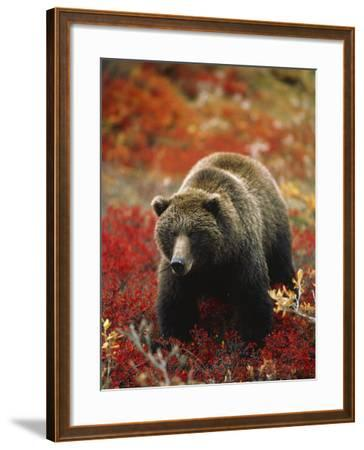 Grizzly Bear Standing Amongst Alpine Blueberries, Denali National Park, Alaska, USA-Hugh Rose-Framed Photographic Print