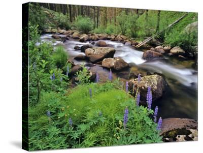Lupine Along Jacobsen Creek in the Pioneer Range of Montana, USA-Chuck Haney-Stretched Canvas Print